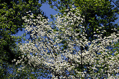 White Dogwood & Blue Sky