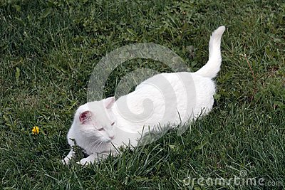 White domestic cat on a field. Rural scene