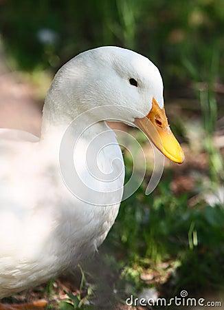 White domestic duck