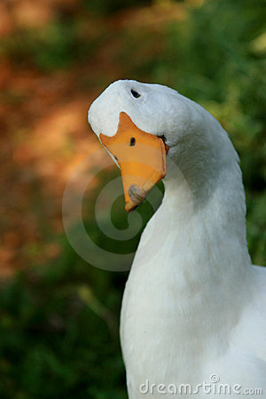 White Domestic Duck