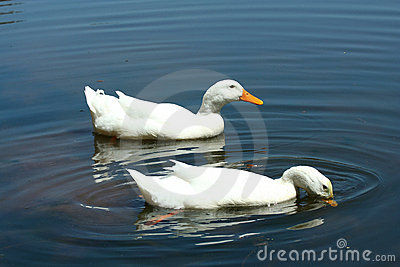 White domestic ducks in a pond