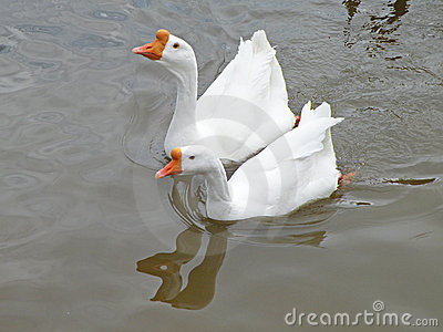 White domestic geese