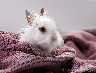 White Domestic Rabbit Nestled in Violet Bath Towel
