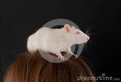 White domestic rat