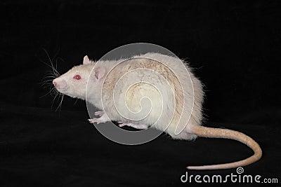 White domestic rat