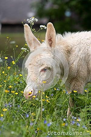 White donkey foal