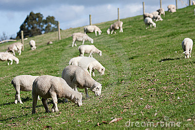 White Dorper herd of sheep lambs grazing hill