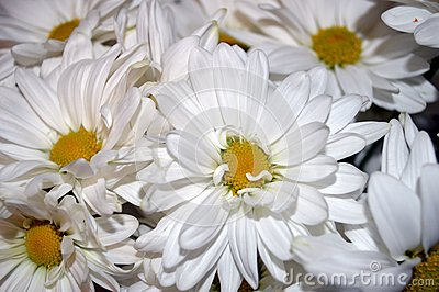 White double daisy close up
