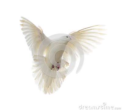 Free White Dove Royalty Free Stock Photography - 41082277
