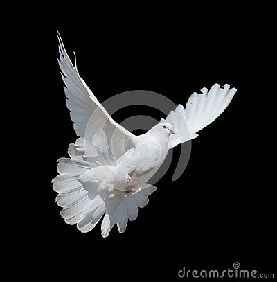 Free White Dove Royalty Free Stock Images - 54429459