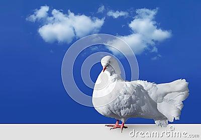 White dove against sky