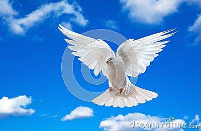 White dove in blue sky