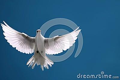 White Dove in Flight Blue Sky