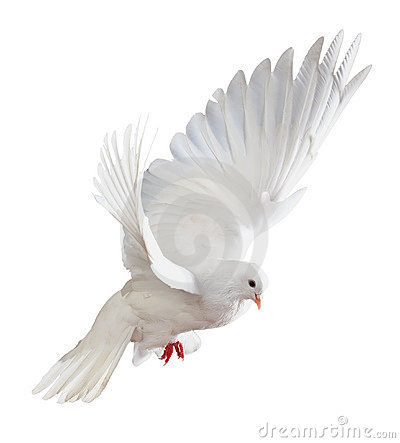 Free White Dove In Flight Royalty Free Stock Photography - 19048917