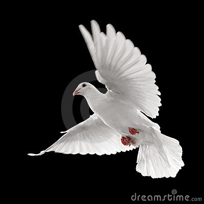 Free White Dove In Flight Royalty Free Stock Photos - 8862478