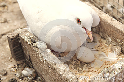 White dove in the nest
