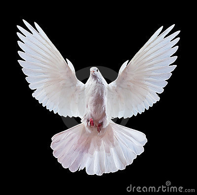 Free White Dove On Black Stock Photos - 13010013