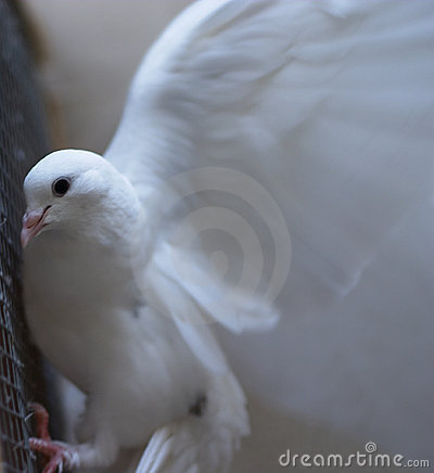 White dove - peace