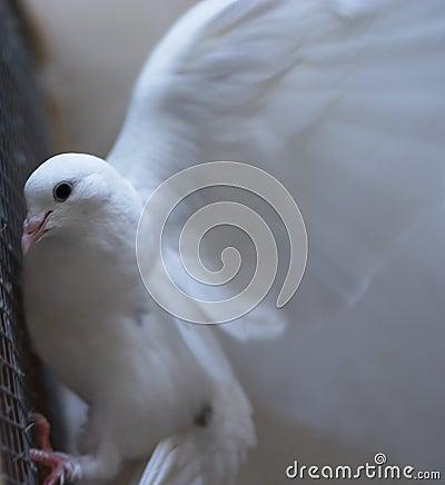 Free White Dove - Peace Stock Photo - 31640