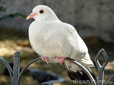 White dove sitting on the metal fence