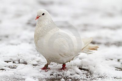 White dove on a snow