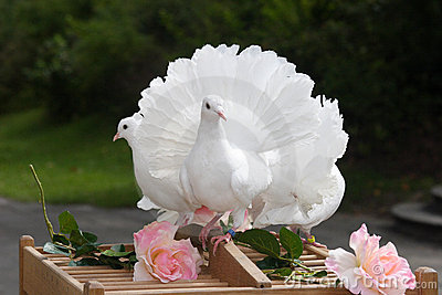 White dove - wedding