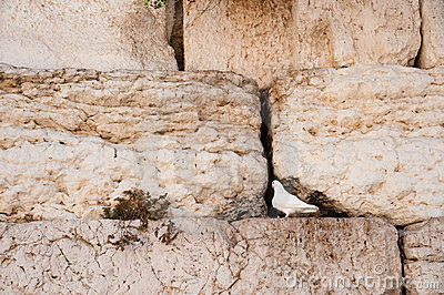 White Dove at Western Wall