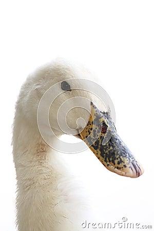 Free White Duck Stock Image - 17713401