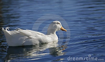 White duck on blue water