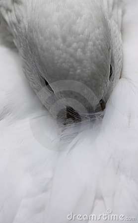 White duck feathers
