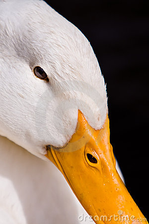 Free White Duck Portrait On Black Background Royalty Free Stock Images - 15827079