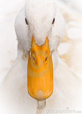 Free White Duck Portrait With Dirty Water Splash Stock Photo - 15732420