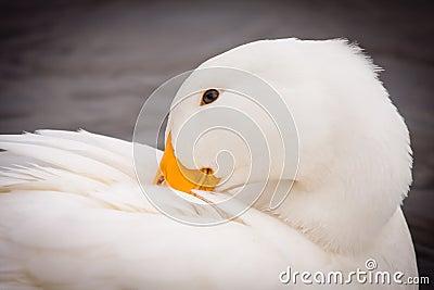 White Duck Preening Itself