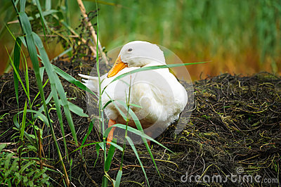 White duck sitting on grass
