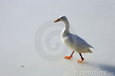 White duck walking on ice