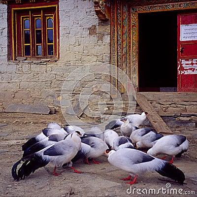 White-eared pheasants