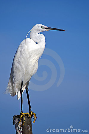 Free White Egret. Stock Photography - 2108422