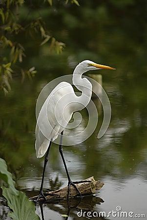 Free White Egret Stock Photos - 931653