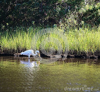 White Egret Bird Finds Dinner NC Marsh