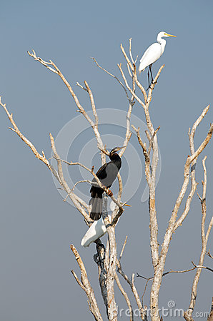White Egret and Darter