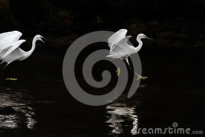 White egret fight