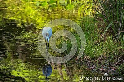 White Egret on the hunt