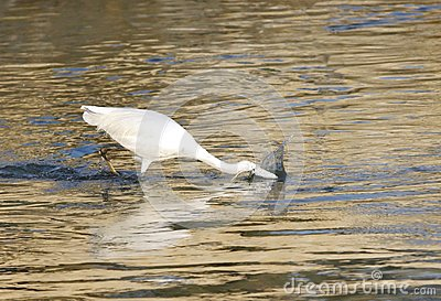 White egret hunting fish