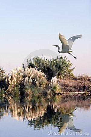 Free White Egret In Flight Stock Photography - 3509572