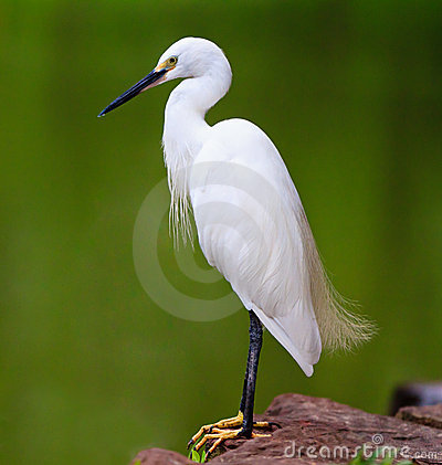 White Egret standing by the river