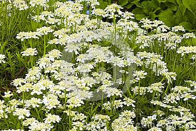 White Evergreen Candy Tuft flowers