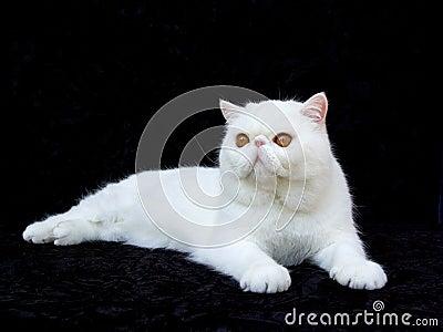 White exotic Persian copper eye cat black velvet