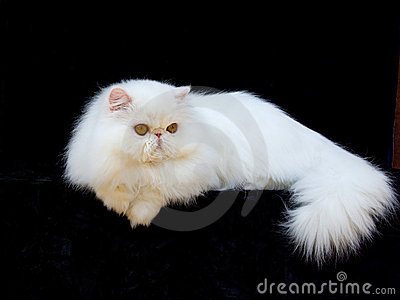 White exotic Persian copper eye cat black velvet