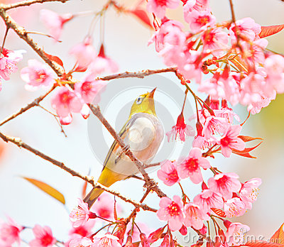 White-eye Bird with Cherry Blossom