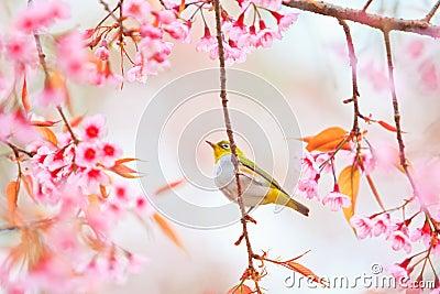 White-eye Bird with Cherry Blossom